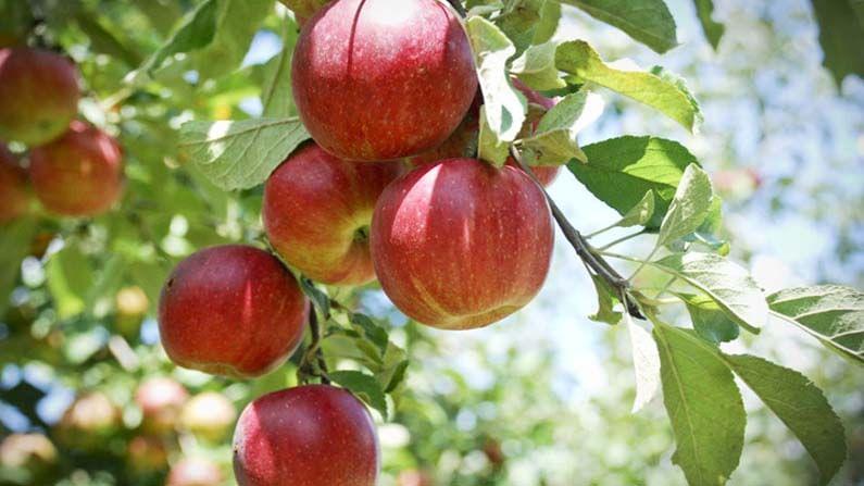 सकाळच्या नाश्त्यात सफरचंद खाणे किंवा सफरचंदाचा रस पिणे आरोग्यासाठी खूप फायदेशीर आहे. सफरचंदमध्ये बरेच प्रकारचे अँटिऑक्सिडेंट आहेत, जे आपल्याला वजन कमी करण्यास तसेच शरीर निरोगी ठेवण्यास मदत करतात.
