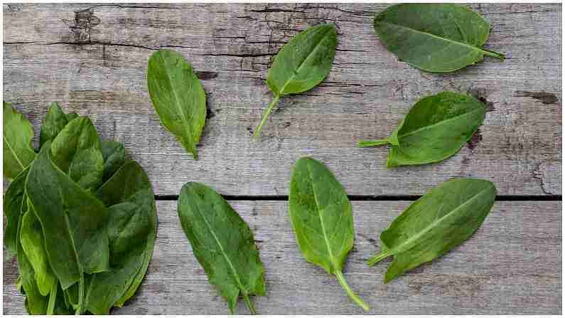 औषधी वनस्पती म्हणून ओळखल्या जाणारी ही पाने सर्दी आणि तापाची लक्षणे दूर करण्यात मदत करतात. याव्यतिरिक्त, ते जळजळ कमी करण्यास मदत करतात. तज्ज्ञांच्या मते कावीळच्या उपचारात ही पाने प्रभावी आहेत आणि या पानांचा रस रोग प्रतिकारशक्ती वाढविण्यात मदत करतो.