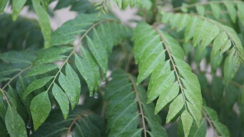 curry leaves 4