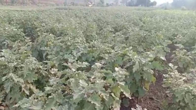 vegetables Cultivation Melghat 1