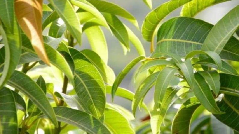 आंब्याची पाने खोकला दूर करण्यासाठी वापरता येतात. यासाठी आपण आंब्याच्या पानांचा पेस्ट तयार करा. त्यात थोडासा मध घालून त्याचे सेवन करा. (टीप : कोणत्याही उपचारांपूर्वी डॉक्टरांचा सल्ला अवश्य घ्यावा.)
