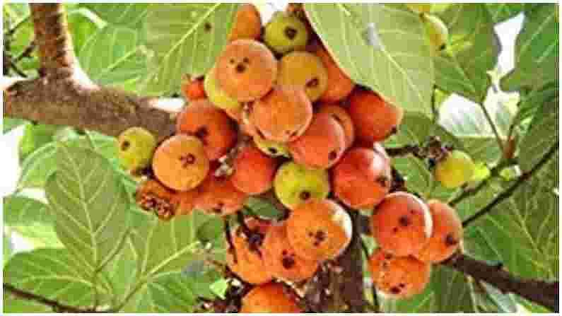 मधुमेह असलेल्या रुग्णांसाठी उंबरची फळे फायदेशीर असतात. त्याच्या फळांची वाळलेली साले बारीक करा. आपण ते सकाळी आणि संध्याकाळी दुधासह घेऊ शकता.