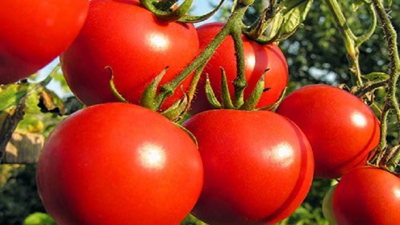 जर तुम्हाला निर्जीव त्वचेला पुनरुज्जीवित करायचे असेल किंवा टॅनिंग काढायचे असेल तर टोमॅटोचे सेवन करा. टोमॅटो चेहऱ्यावर लावल्यानेही फायदा होतो. तो आपली त्वचा मऊ आणि चमकदार बनवतो. तसेच, मुरुमं आणि मोठे पोर्स साफ करण्यास मदत करतो.
