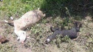 Parbhani sheep death