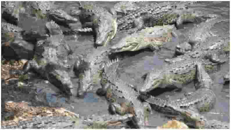 हे म्यानमारचे राम्री बेट आहे, ज्याला 'मगरांचे बेट' देखील म्हटले जाते. इथे खाऱ्या पाण्याचे अनेक तलाव आहेत, जे धोकादायक मगरींनी भरलेले आहेत. या बेटाचे नाव गिनीज बुक ऑफ वर्ल्ड रेकॉर्डमध्ये नोंदले गेले आहे, कारण या बेटावर राहणाऱ्या धोकादायक मगरींनी बहुतांश लोकांचे नुकसान केले आहे.