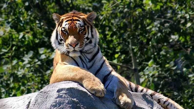 वाघ - वाघाला इंग्रजीत टायगर म्हणतात. वाघाच्या शरीरावर काळ्या रंगाच्या रेषा दिसतात. त्यामुळे वाघाला ओळखणं अगदी सोपं आहे. वाघ सिंहाच्या तुलनेत लांब, चपळ, आक्रमक आणि अधिक शक्तीशाली असतात.