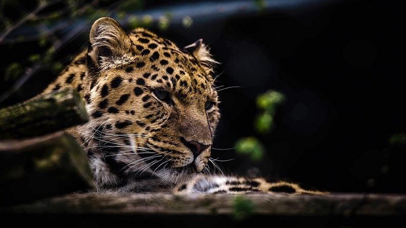 बिबट्या - बिबट्या हा वाघ आणि सिंहाच्या तुलनेत लहान असतो. मात्र, चित्तापेक्षा तो मोठा असतो. बिबट्याच्या शरीरावर काळे गोल ठिपके असतात.