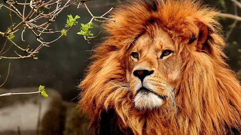 सिंह - सिंह हा वाघ, चित्ता आणि बिबट्या या तिघांपेक्षा वेगळा असतो आणि हा फरक सहज लक्षात येतो. सिंहाच्या तोंडावर खूप सारे केस असतात. त्याला अयाळ म्हणतात. सिंह नेहमी झुंडीत फिरतात.