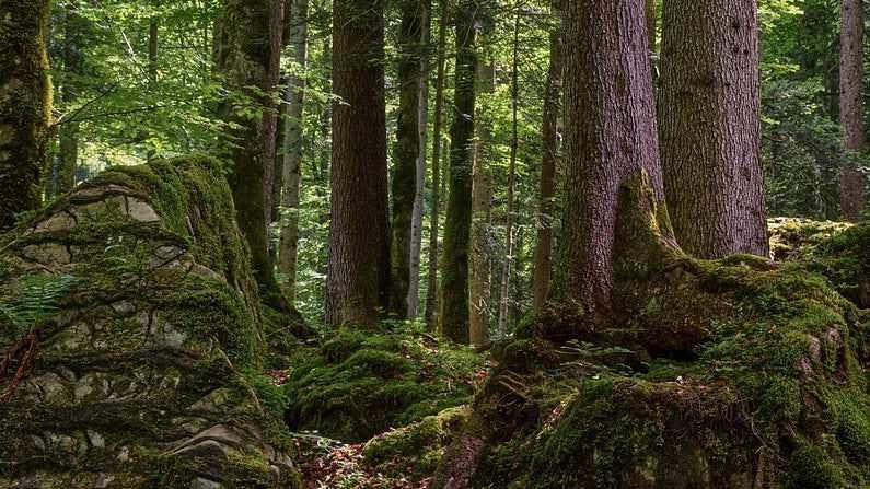 दुसरीकडे अनेक अहवाल देवदार वृक्षाचं लाकूड मजबूत असल्याचं सांगतात. मात्र हे झाड डोंगरी भागात आढळतं. साधारणपणे 3500 ते 12000 फूट उंचीपर्यंत याची वाढ आहे. देवदार झाडाचं लाकूड देखील खूप मजबूत असतं. त्यामुळेच याचाही फर्निचर तयार करण्यासाठी मोठ्या प्रमाणात उपयोग होतो. देवदारला वैज्ञानिक भाषेत सिड्रस देवदार (Cedrus Deodara) म्हणतात.