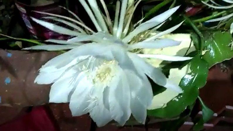 निसर्गाचा अद्भुत चमत्कार असलेल्या अनेक गोष्टी आपल्याला अनुभवण्यास मिळतात. त्यापैकीच एक असलेले ब्रम्हकमळाचे फुल.