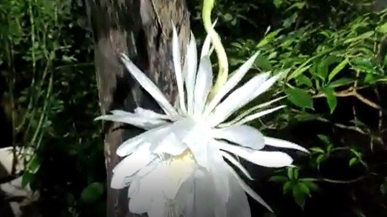 ब्रम्हकमळाचे फुल रात्री 8 नंतर उमलण्यास सुरुवात होऊन परत मध्यरात्री पासून कोमेजण्याच्या अवस्थेत जाते. ब्रम्हकमळ म्हणजे निसर्गाचा चमत्कारच म्हणावा लागेल.