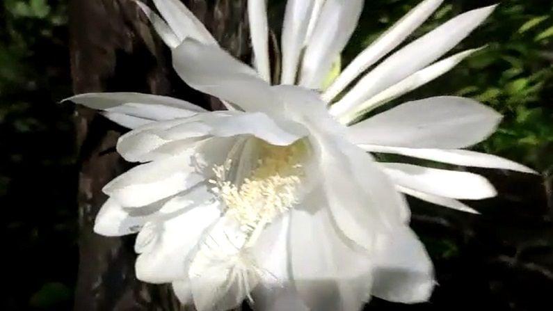 या फुलाचे बारकाईने केल्यास फुलांच्या पराग कणांवर ब्राम्हदेवांची निद्रस्त प्रतिमा दिसून येत आहे...अनेक पुष्प प्रेमी निसर्गाची ही किमया पाहण्यासाठी गर्दी करीत आहेत.