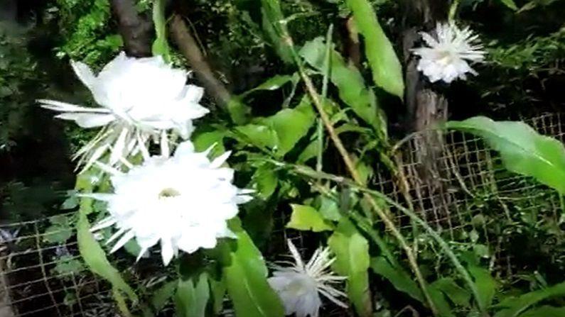 वाशीम जिल्ह्याच्या रिसोड तालुक्यातील व्याड येथील विनोद लढा यांच्या घरी हे ब्रम्हकमळ फुलले असून दोन दिवसात तब्बल 21 ब्रम्हकमळाची फुले फुलली आहेत.