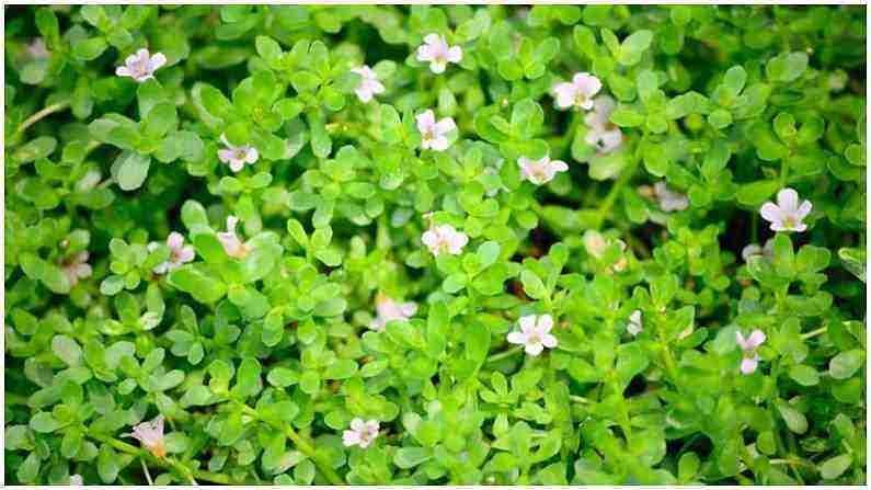 ब्राह्मी - ब्राह्मी सर्वात लोकप्रिय आयुर्वेदिक पदार्थांपैकी एक आहे. शरीरातील महत्वाचे पोषक आणि अँटिऑक्सिडंट्स संक्रमण आणि रोगांशी लढण्यास मदत करतात. तणाव आणि चिंता दूर करण्यासाठी देखील ब्राह्मी फायदेशीर आहे.
