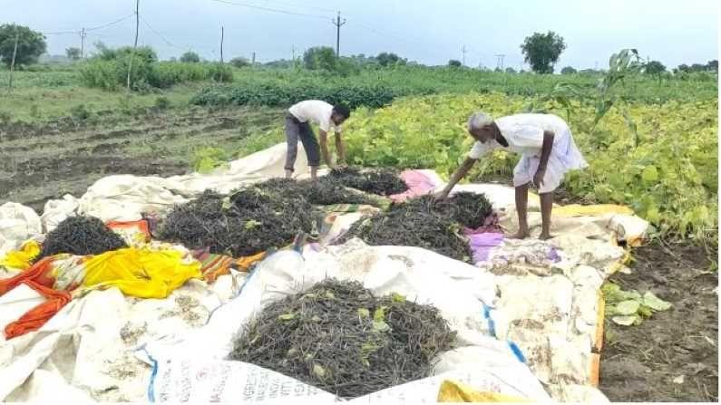 मूग काढणासीठी शेतकऱ्यांची लगबग सुरु असून मूग तोडणी करुन शेतकरी बाजारात विकतो. येणाऱ्या बैलपोळा सणाचा खर्च शेतकरी या पैशातून भागवतात. मराठवाड्यातील शेतकऱ्यांच्या हातात यंदाच्या खरिप हंगामातील पीक येणार असल्यानं शेतकऱ्यांमध्ये थोडे फार आनंदाचं वातावरण आहे.