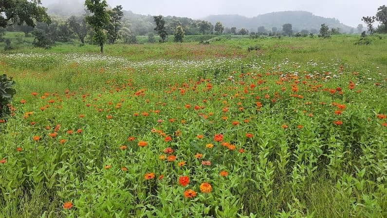 सातारा जिल्ह्यातील कांस पठारावरील नयनरम्य फुलांचे ताटवे आजवर अनेक पर्यटनप्रेमींनी डोळ्यांत साठवले असतील. पण आता हे नेत्रसुख आपल्या मराठवाड्यातही अनुभवता येणार आहे. औरंगाबाद जिल्ह्यात चार ठिकाणी अशा प्रकारचे प्रयोग केले जात आहे. कन्नड तालुक्यातील गौताळ्याजवळ 12 हेक्टर, सारोळ्याजवळ 12 हेक्टर, खडीपिंपळगाव (ता. खुलताबाद) येथे साडे तीन हेक्टर तर अजिंठा व्ह्यू पॉइंटजवळ दोन हेक्टरवर हे झकास पठार फुलवण्याचे काम सुरु आहे.