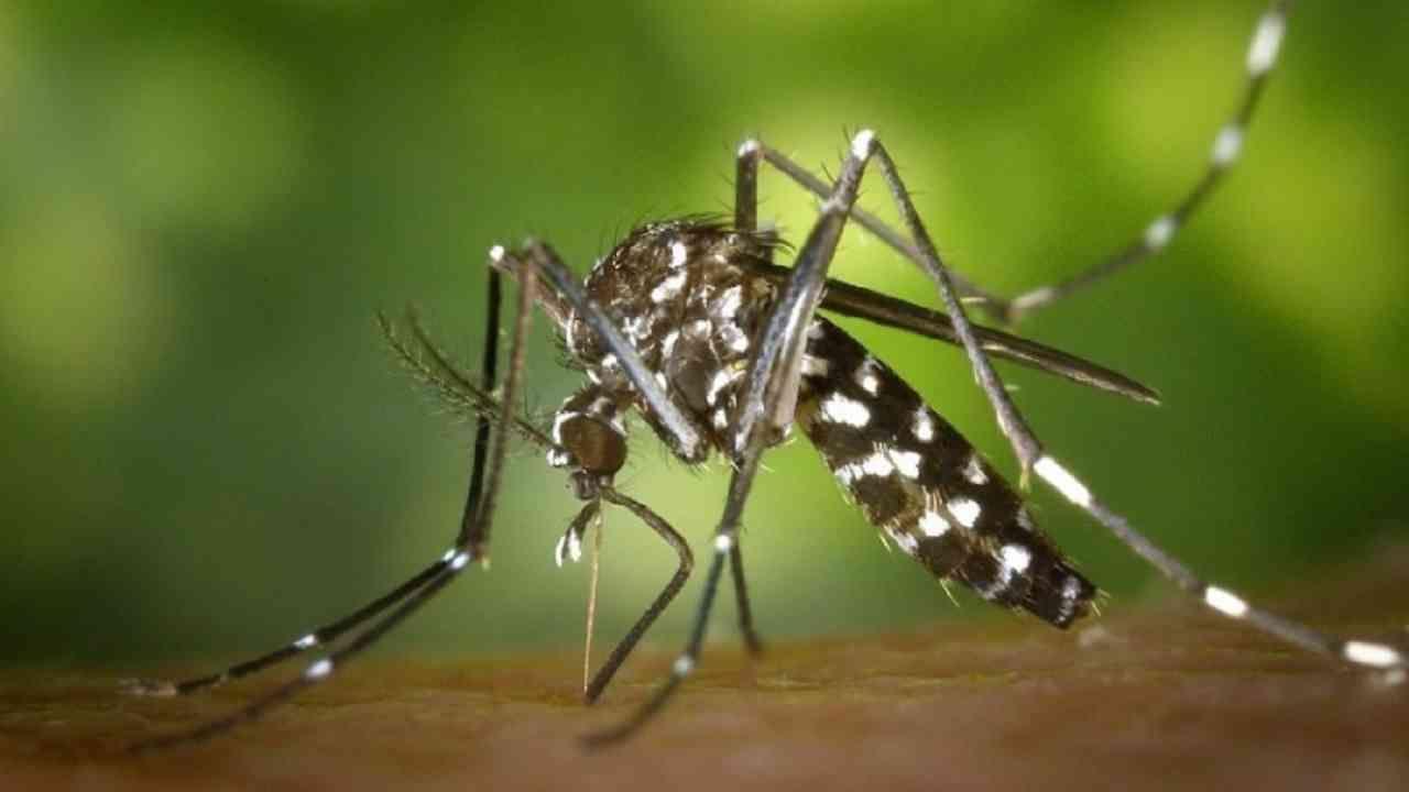 चीनमध्ये डासांमुळे वाढलेले रोग कमी करण्यासाठी आणि मलेरिया आणि डेंग्यू सारखे आजार कमी करण्यासाठी हे डास तयार पैदास केले जातात. जे डास रोगराई पसरवतात त्यांना हे चांगले डास संपवतात.