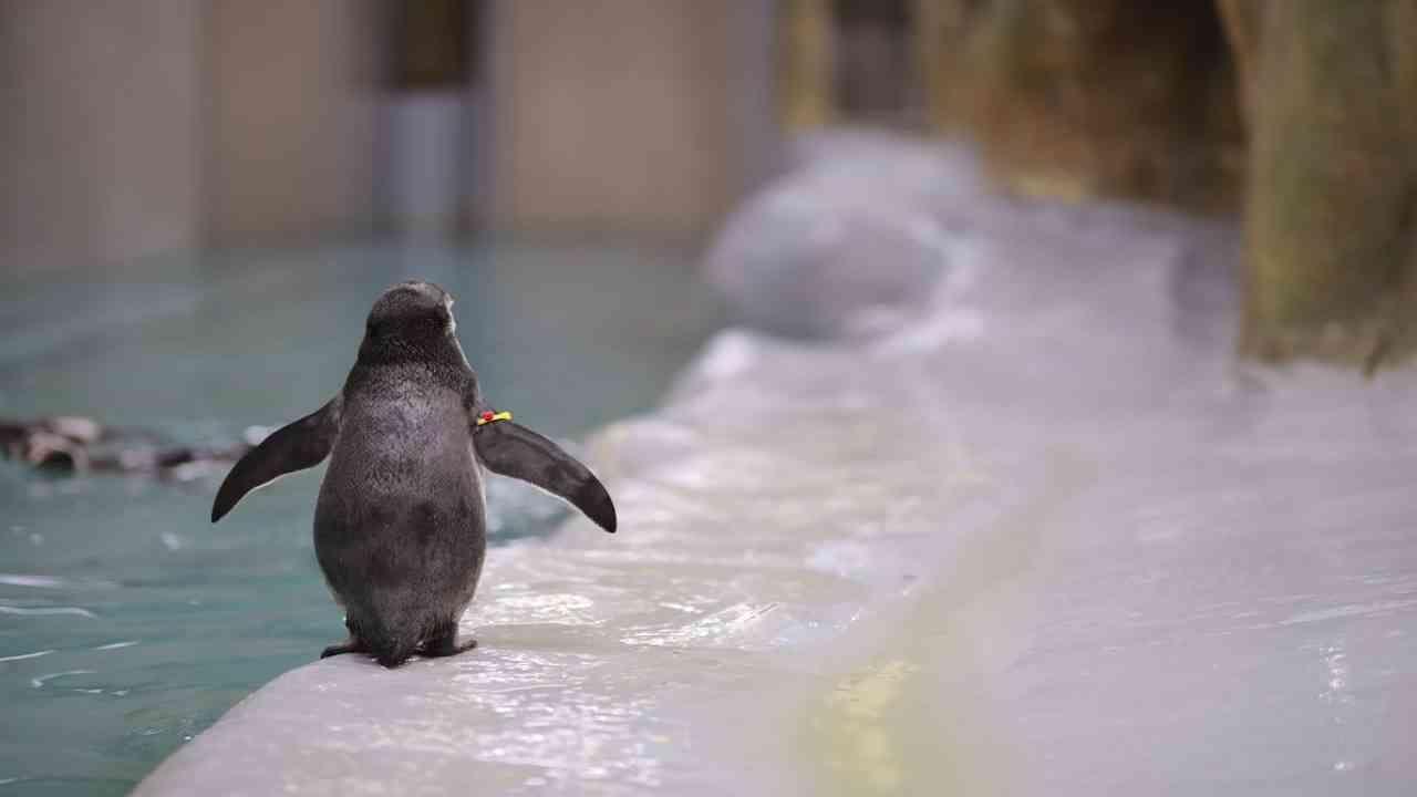 या सुविधेत सध्या सात प्रौढ पेंग्विन (3 नर आणि 4 मादी) आहेत. त्यापैकी दोन प्रजनन जोड्यांनी या वर्षी यशस्वीपणे प्रजनन केले आहे. डोनाल्ड आणि डेसी या जोडीने एकच अंड दिले आणि 11 मे 2021 रोजी हे नवजात पिल्लू (नर) (ओरिओ-Oreo) जन्माला आले. पालकांनी ओरिओचे पूर्णपणे संगोपन केले आणि तसेच टीमने दर 2-3 तासांनी पालकांना आहार देऊन ओरिओच्या संगोपनात त्यांना मदत केली.