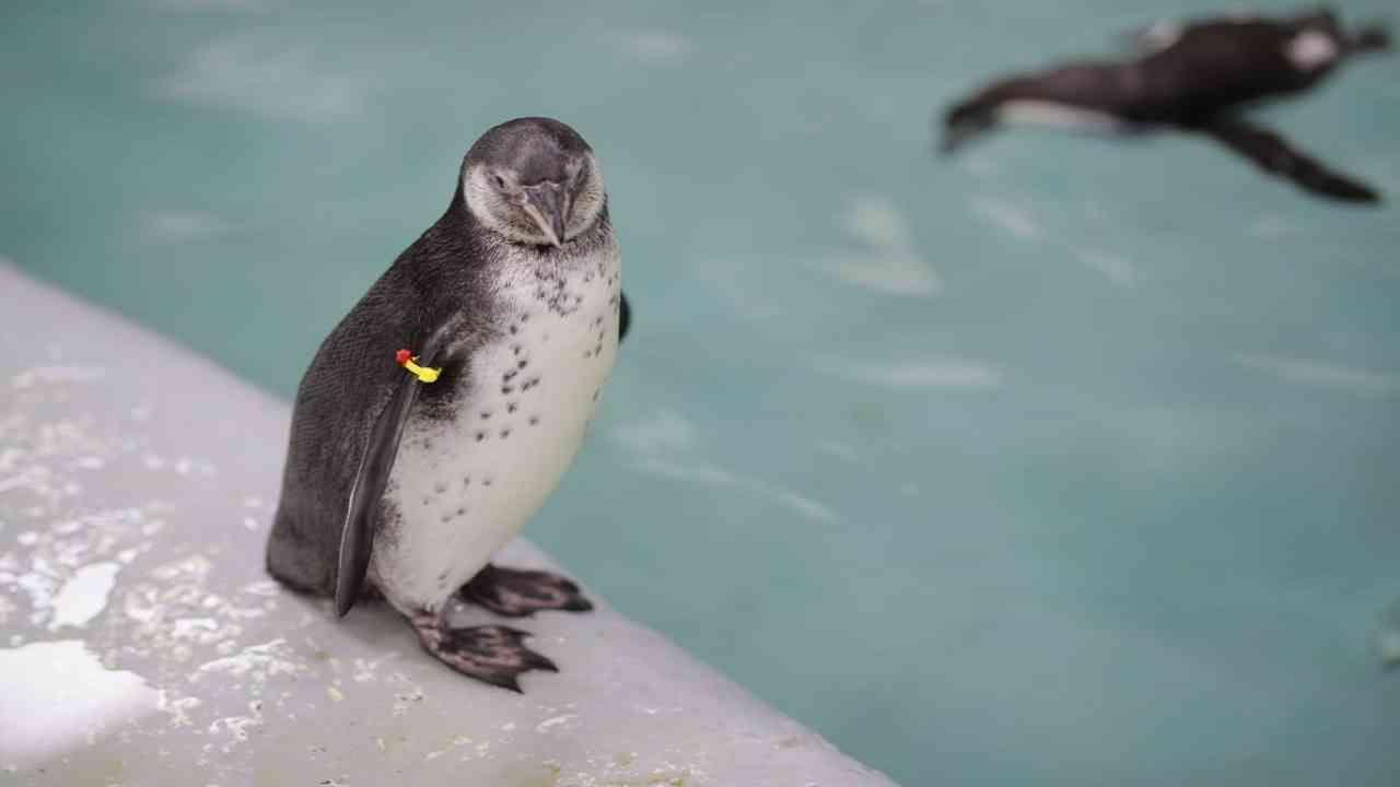 ओरिओ सतत त्याच्या घरट्यात न जाता मुख्यतः बबल या मादी पेंग्विनसोबत वेळ घालवतो आणि प्रदर्शनी परिसरात फिरतो. ओरिओ आता प्रौढ पेंग्विनप्रमाणे मासे खातो आणि आता त्याला कोणत्याही विशेष आहाराची आवश्यकता नाही.