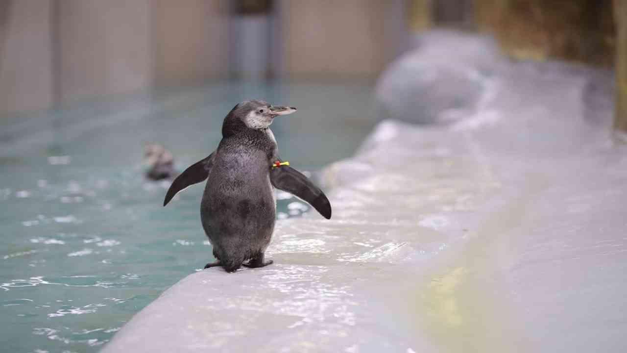 ओरिओला आता किशोरवयातील पेंग्विन सारखे आवरण (Juvenile Coat) आले असून सुमारे एक वर्षाचा होईपर्यंत त्याला प्रौढ पेंग्विनप्रमाणे आवरण (adult coat) येईल. ही घडण प्रक्रिया तरुण पेंग्विनसाठी खूप तणावपूर्ण असते म्हणून त्याची काळजी घेतली जात आहे. मोल्ट आणि फ्लिपर या जोडीने एकच अंड दिले आणि 19 ऑगस्ट 2021 रोजी हे नवजात पिल्लू जन्माला आले.