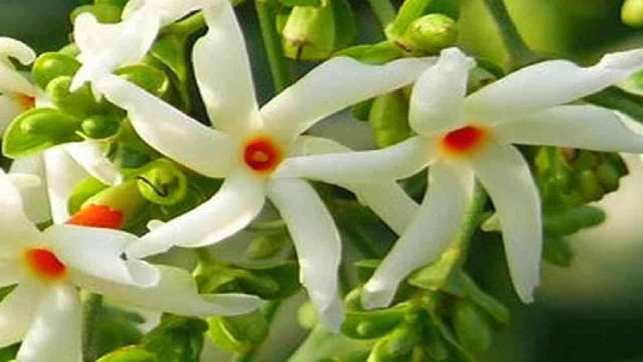 प्राजक्तांच्या फुलाचा सुगंध सर्वत्र पसरतो. प्राजक्ताचे झाड आपण घरासमोर लावले पाहिजे. दररोज प्राजक्ताची फुले तोडून देवाला वाहिली पाहिजे. यामुळे पुण्य मिळते.