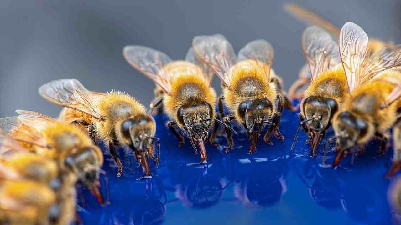 संशोधकांना असं आढळून आलं की शहरी आणि ग्रामीण दोन्ही भागात राहणाऱ्या मधमाशांनी गोळा केलेल्या साखरेचे प्रमाणात लक्षणीय फरक नाही. कारण शहरात बाग आहेत, शहरी मधमाश्यांना तिथून साखर गोळा करण्यासाठी मदत मिळते.