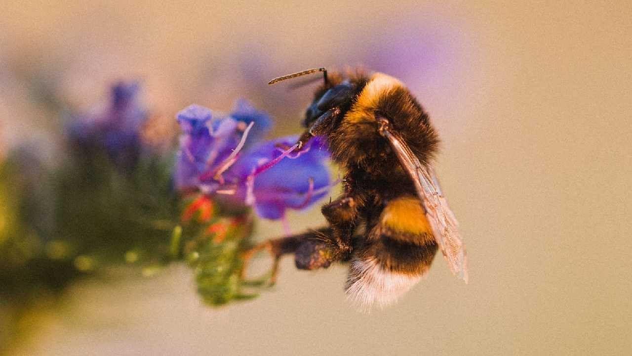 संशोधक एली लीडबीटर म्हणतात की शहरी उद्याने मधमाशांसाठी हॉटस्पॉट आहेत. येथे विविध फुलांच्या अनेक जाती लावल्या आहेत. दुसरीकडे, मधमाश्यांना शहरांपेक्षा ग्रामीण भागात त्यांचे अन्न शोधण्यासाठी अधिक मेहनत करावी लागते. यासाठी त्यांना लांबचा प्रवासही करावा लागतो.