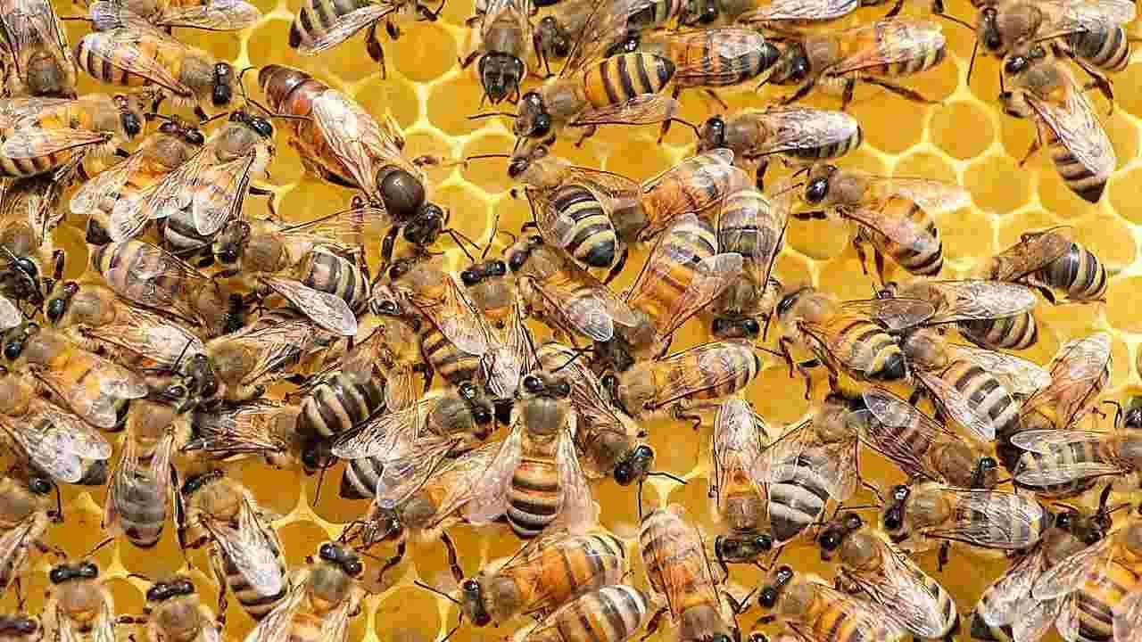 खरं तर, ब्रिटनच्या लंडनमधील व्हर्जिनिया आणि रॉयल हॉलोवे विद्यापीठाच्या संशोधकांनी मधमाश्यांच्या 20 पोळ्याचे विश्लेषण केलं. त्यांनी या पोळ्यांमध्ये मधमाशांचं 2800 वेळा विश्लेषण केलं. मधमाश्या फक्त एकमेकांशी एक विशेष प्रकारचा वागल नृत्य सादर करून संवाद साधतात आणि वागल नृत्याद्वारे ते अन्नाचा ठावठिकाणा लावतात.